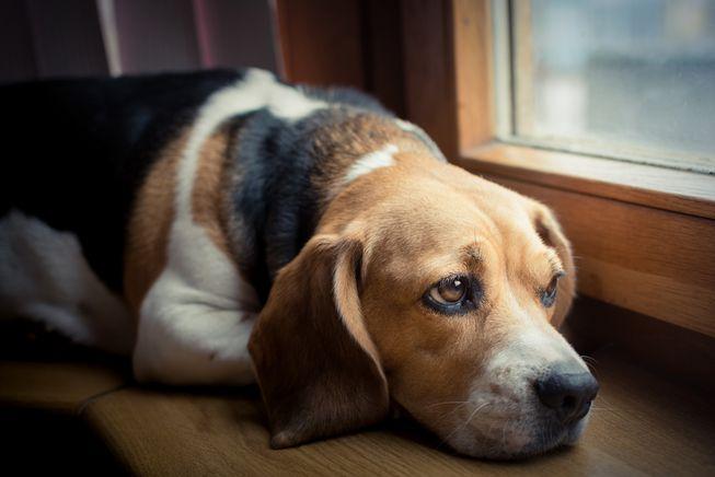 Insegnare al cane a stare a casa da solo. [GUIDA PRATICA!]